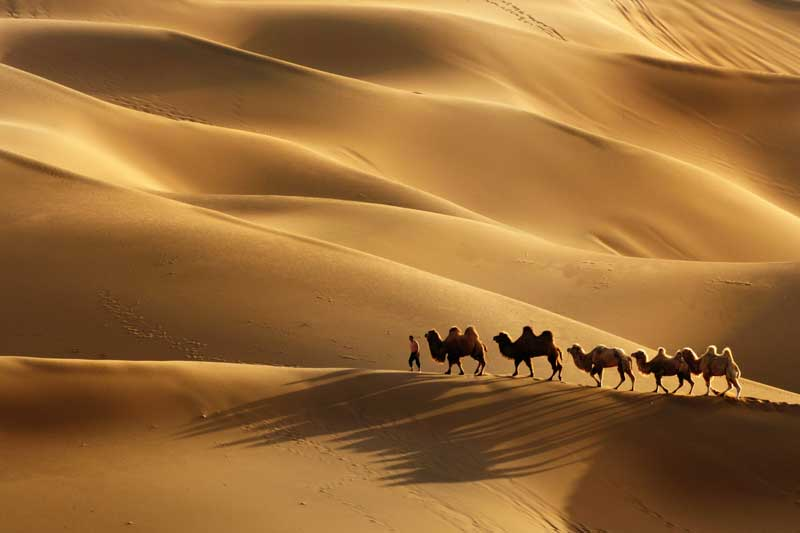 Camels in the desert. Resilience is an important quality in the psychology of trading.